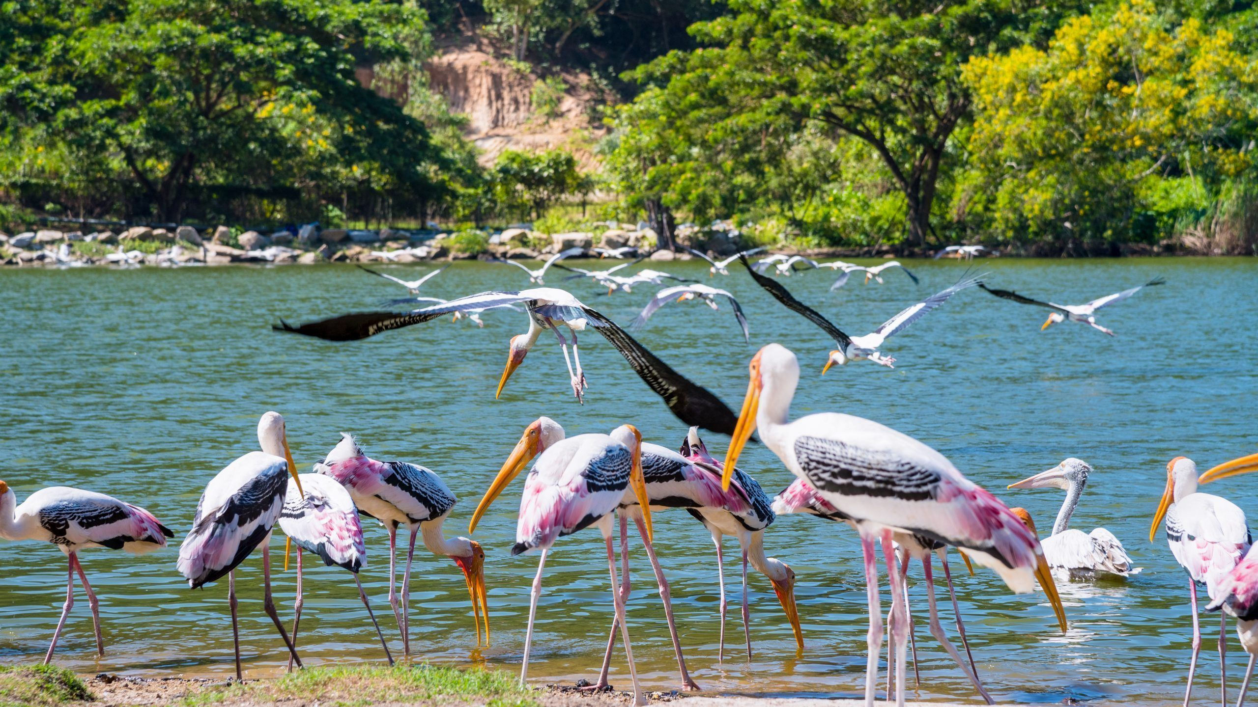 Group of Painted Stork or Mycteria Leucocephala, Flock of big bird foraging on the waterfront and flying at the lake, Beautiful wildlife in nature tranquil tropical forest of Thailand, 16:9 widescreen